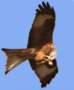 Red Kite Feeding Centre/Station, Rhayader, Mid Wales