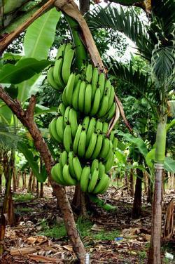 Bananas go on sale in UK for 1st time